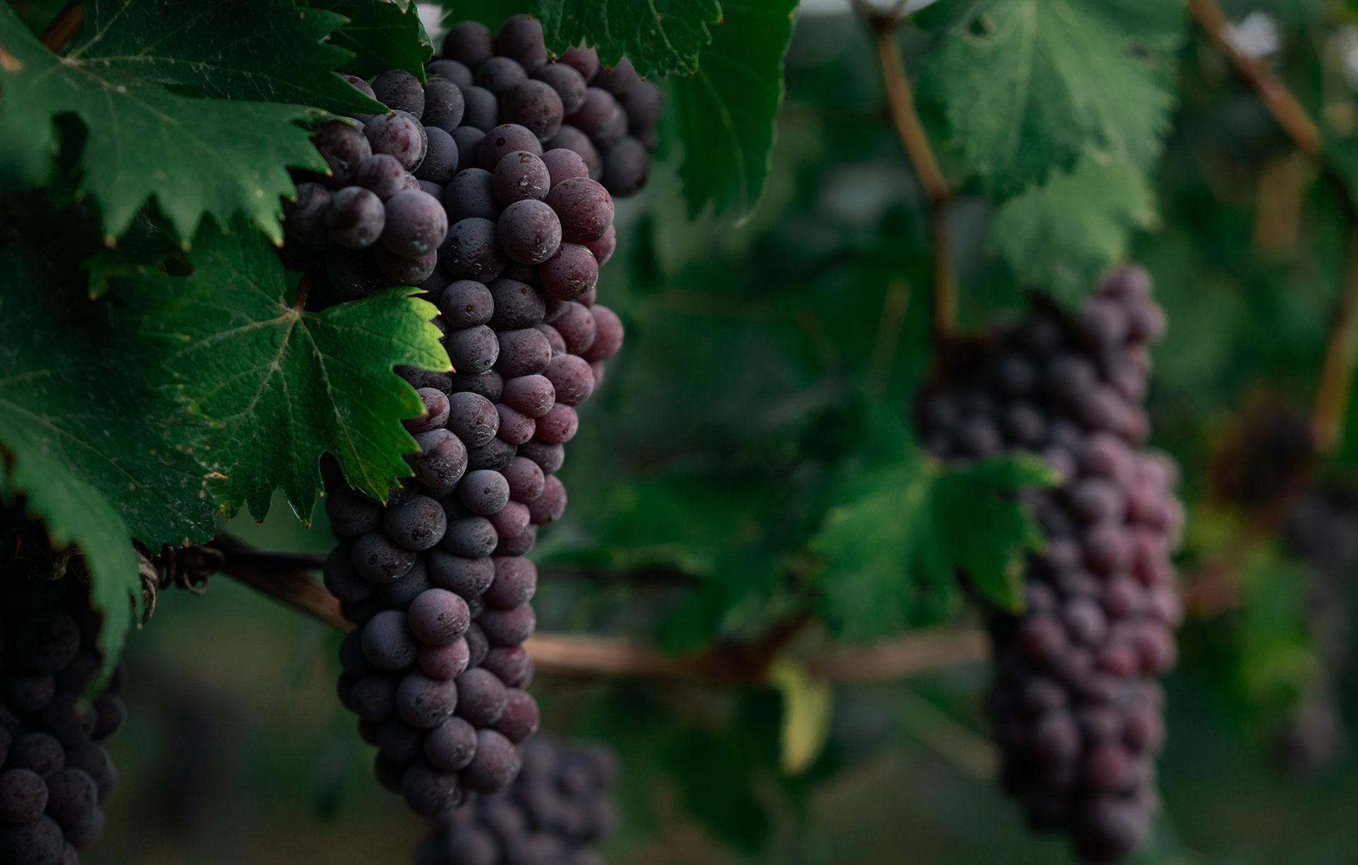 виноделы - сбор урожая и изготовление вина / фото 08