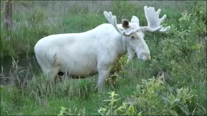 말코손바닥사슴
