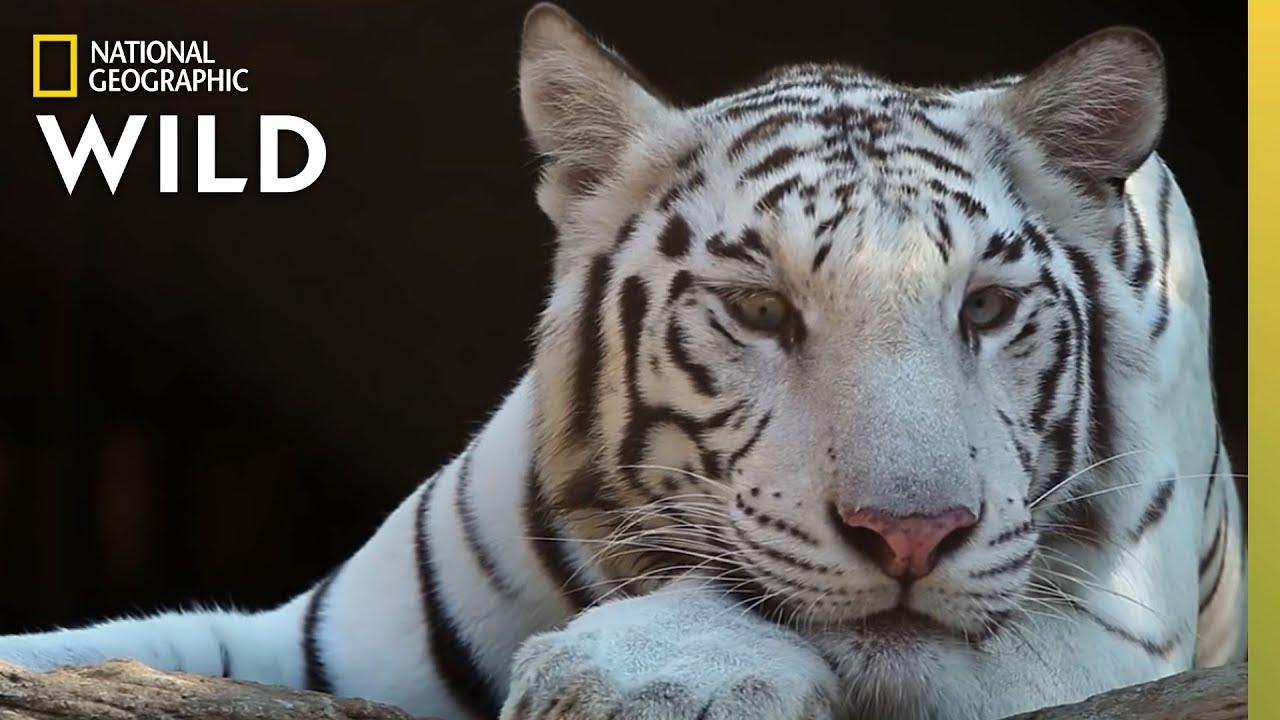 انقراض النمور counting tiger[مدبلج] [1080p] تحميل تورنت 2 arabp2p.com