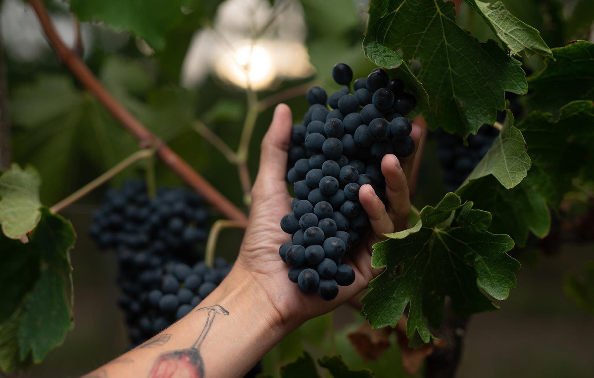 виноделы - сбор урожая и изготовление вина / фото 02