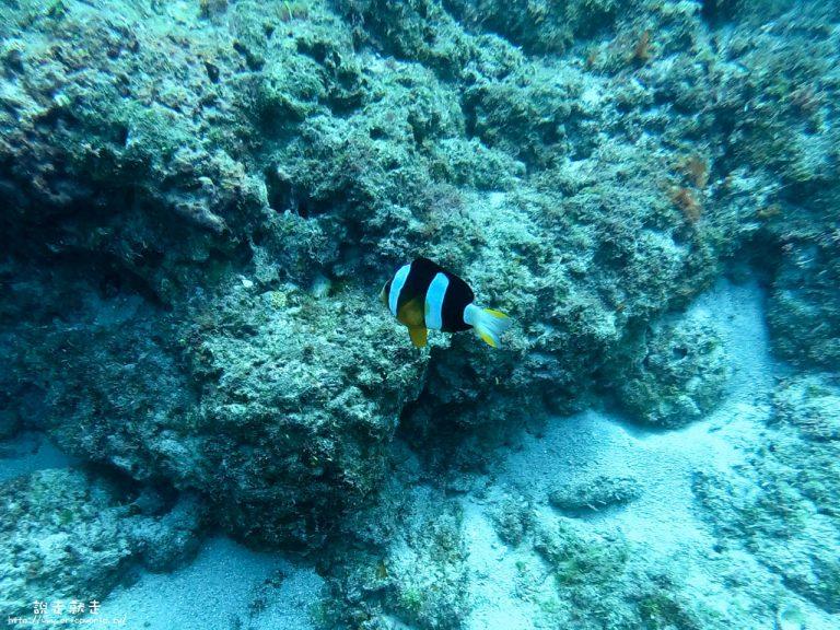 小琉球潛水小丑魚