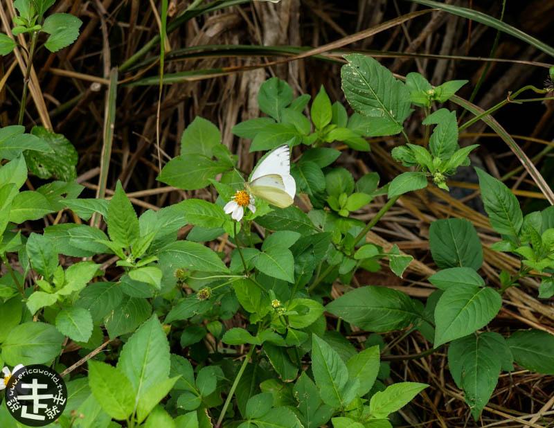 座間味島蝴蝶