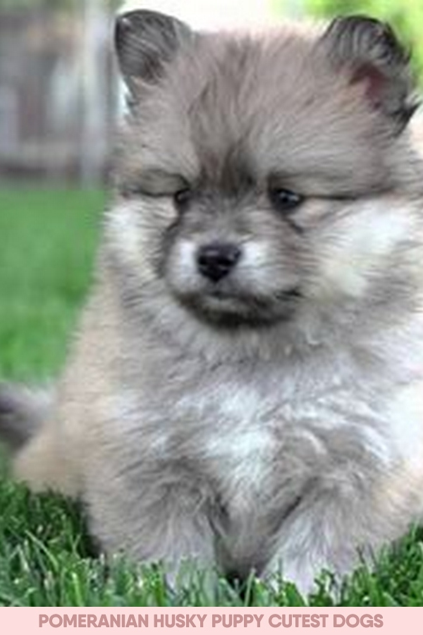 pomeranian husky puppy cutest dogs