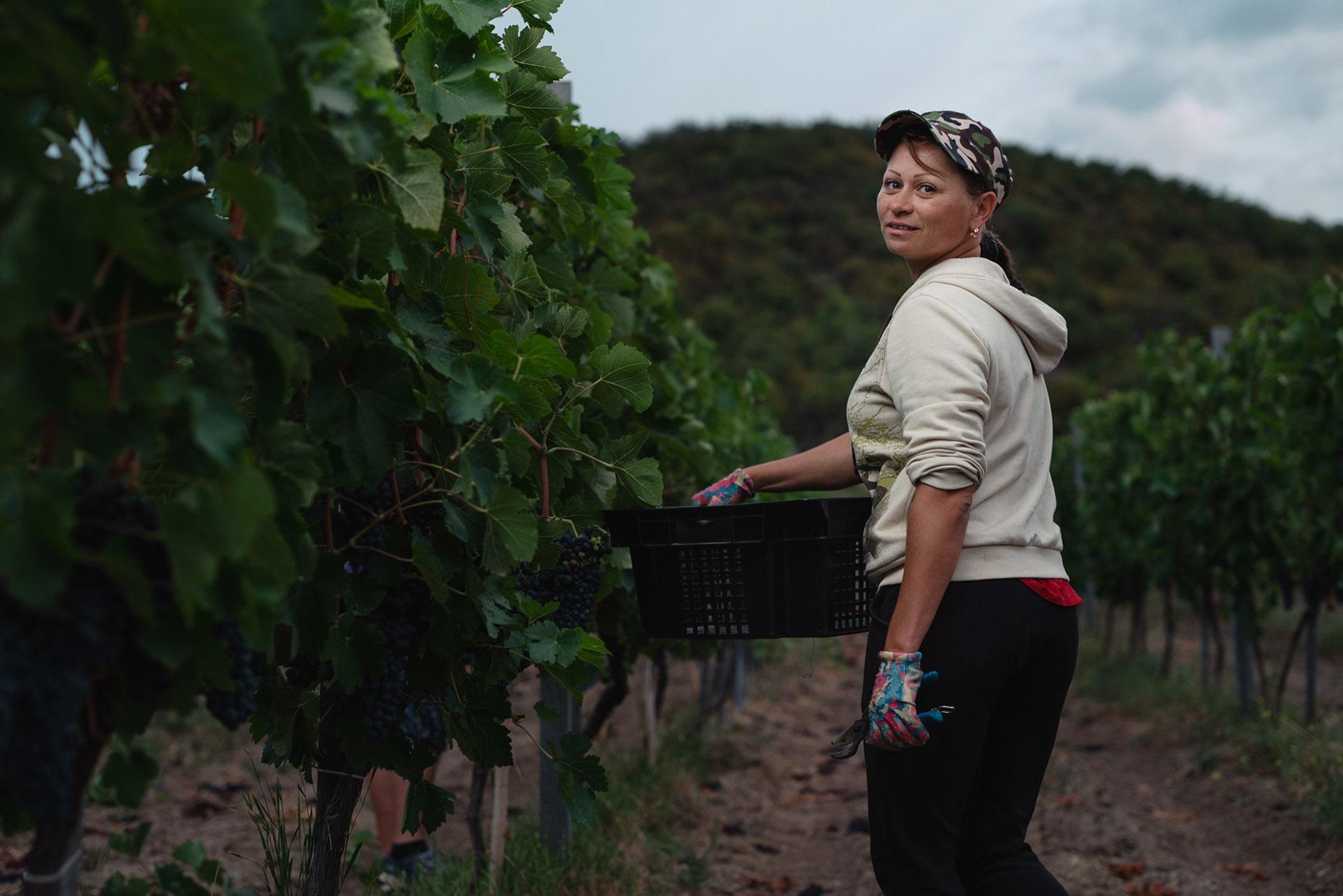 виноделы - сбор урожая и изготовление вина / фото 10