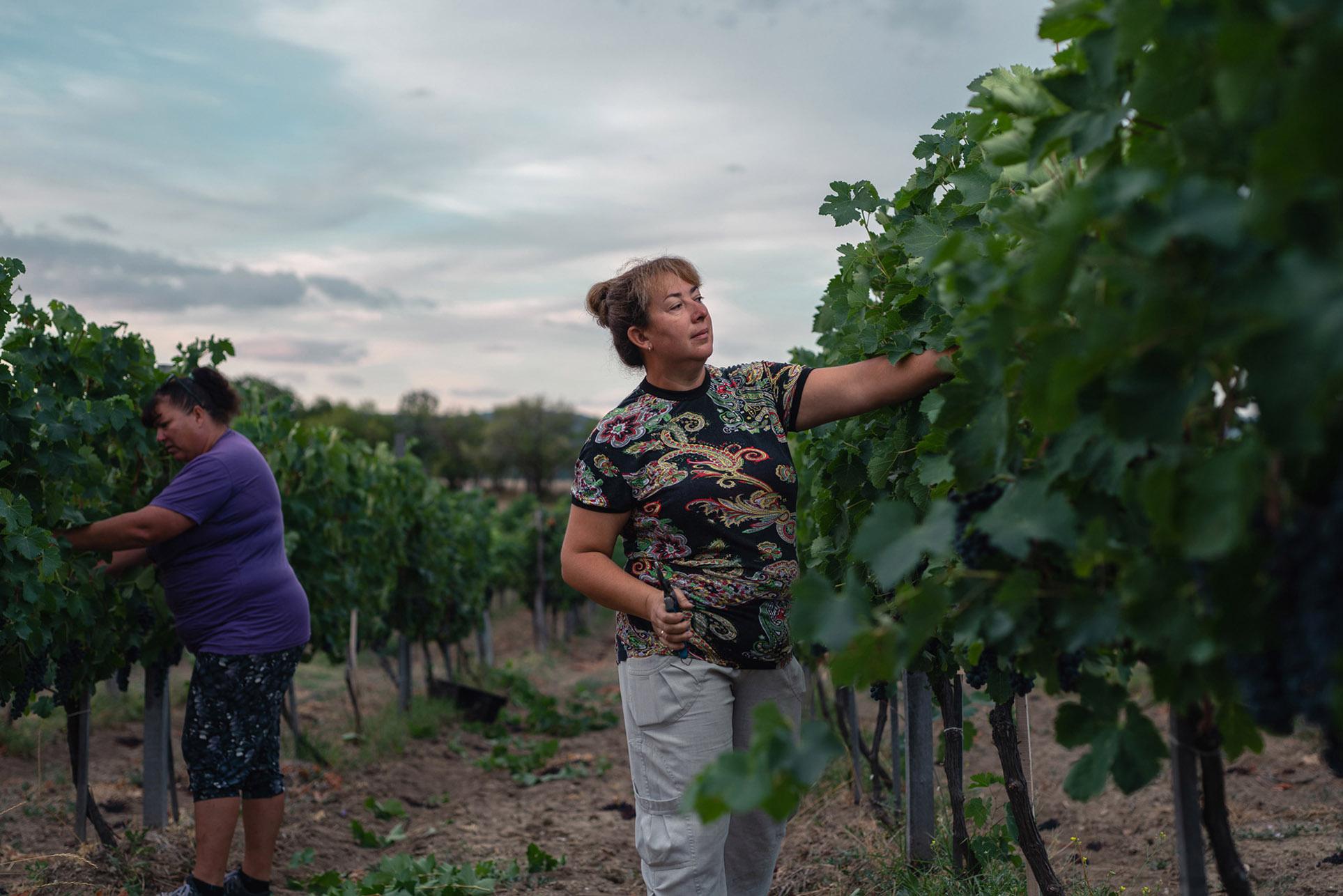 виноделы - сбор урожая и изготовление вина / фото 09