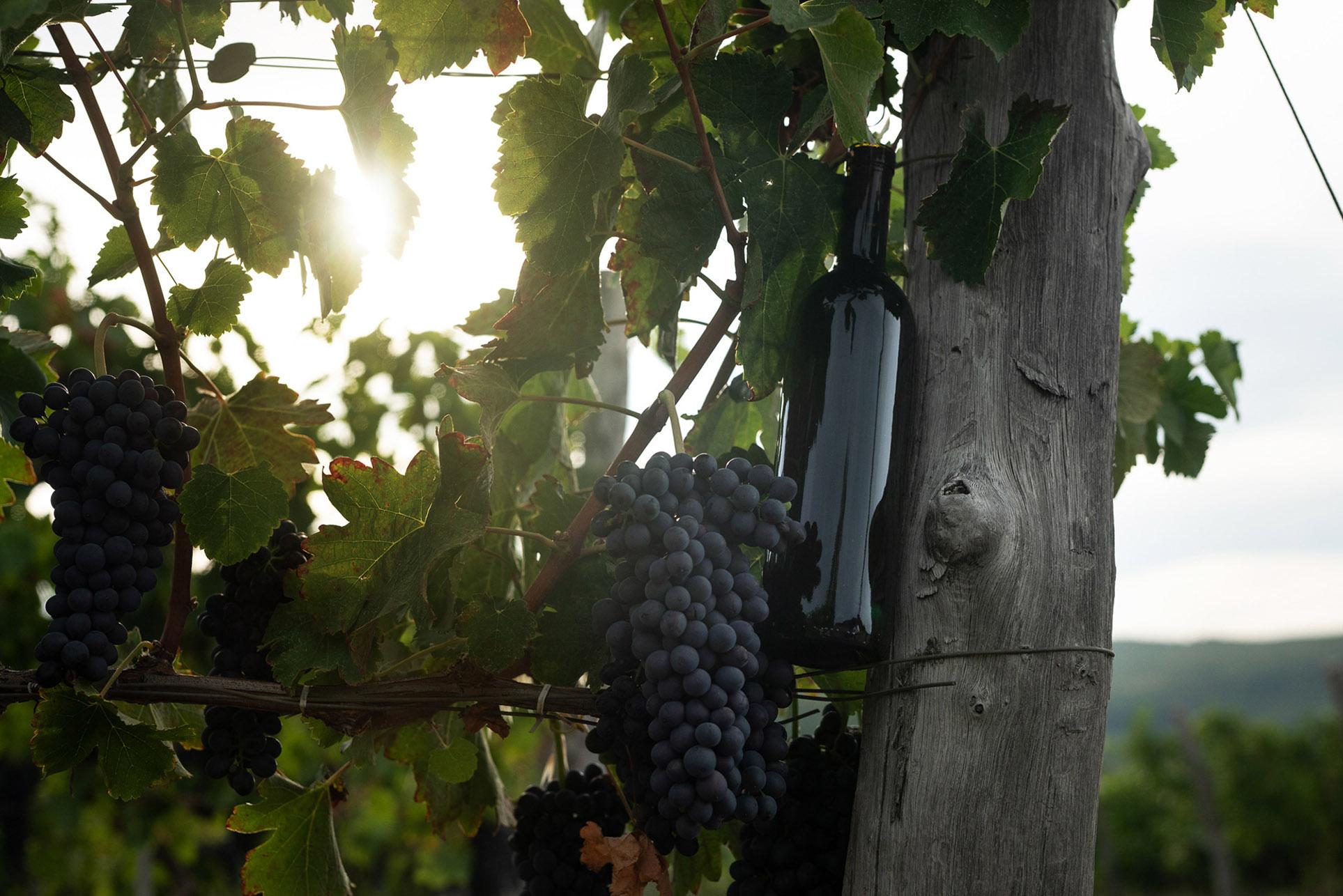 виноделы - сбор урожая и изготовление вина / фото 21