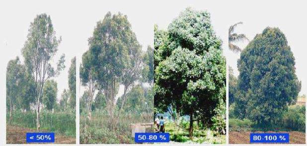 Kriteria penutupan tajuk tanaman cengkeh