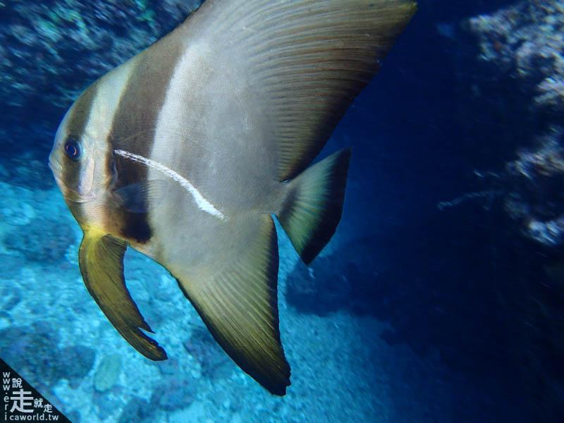 青之洞窟潛水燕魚
