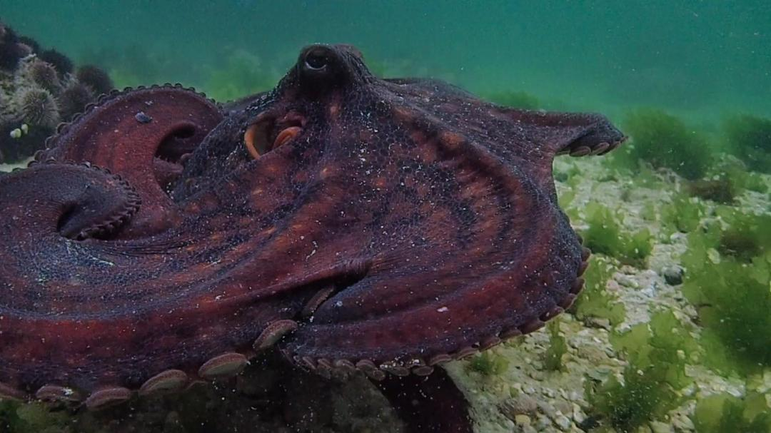 My Octopus Teacher 2020 1080p NF WEBRip DDP5 1 x264-pawel2006